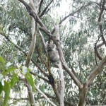Koala im Baum in Kennett River